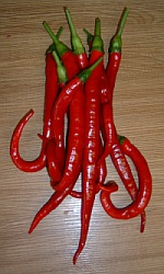 Chilli Joes Long - Capsicum annum